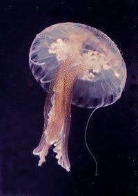 jellyfishi liigeste ravi
